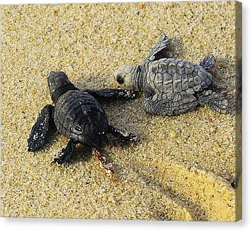 Tommy And Timmy Turtle Canvas Print by John  Greaves