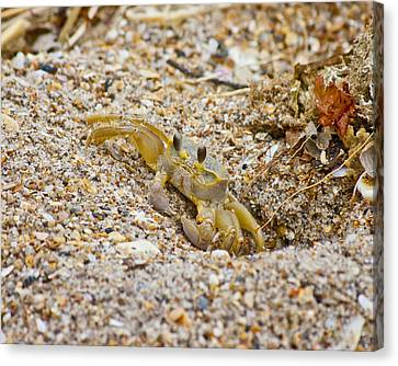 Topsail Ghost Crab Canvas Print by Betsy C Knapp
