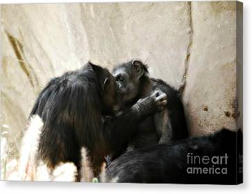Touching Moment Gorillas Kissing Canvas Print by Peggy  Franz