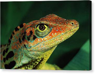 Transverse Anole Anolis Transversalis Canvas Print by Murray Cooper