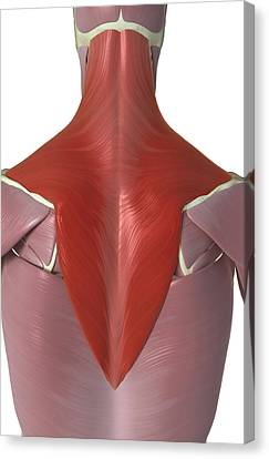 Trapezius Muscle Canvas Print by MedicalRF.com