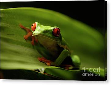 Tree Frog 10 Canvas Print by Bob Christopher