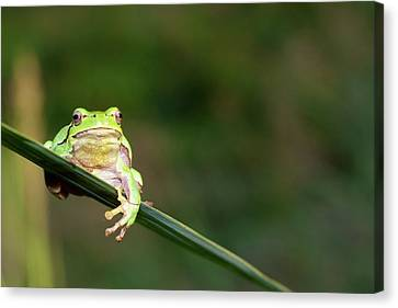 Tree Frog Canvas Print by Aaa