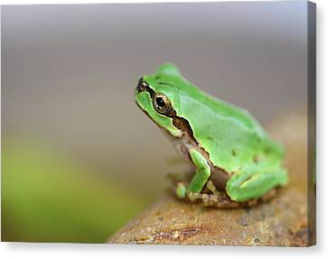 Tree Frog Canvas Print by Copyright Crezalyn Nerona Uratsuji