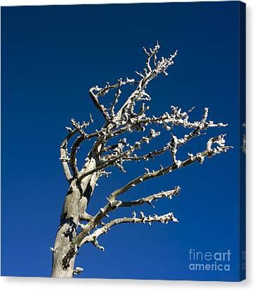 Tree In Winter Against A Blue Sky Canvas Print by Bernard Jaubert