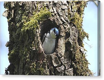 Tree Swallow Canvas Print by Angie Vogel
