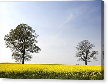 Trees In A Rapeseed Field, Yorkshire Canvas Print by John Short