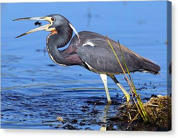 Tri Heron Fishing Canvas Print by Rick Mann