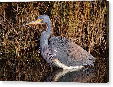 Tricolored Heron Canvas Print by Bruce J Robinson