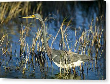 Tricolored Heron Hunting Canvas Print by Rich Franco