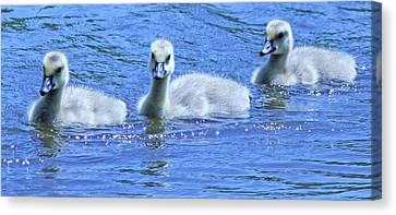 Trio Of Baby Geese Canvas Print by Becky Lodes