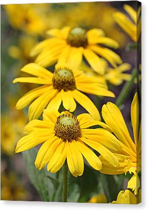 Trio Of Yellow Flowers Canvas Print by Becky Lodes