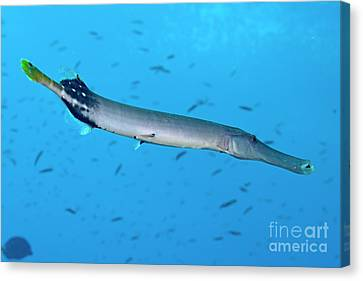 Trumpetfish Canvas Print by Sami Sarkis