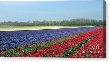 Tulip And Hyacinth Fields In Holland. Panorama Canvas Print by Ausra Huntington nee Paulauskaite