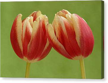Tulip Tulipa Sp Pair, Hoogeloon Canvas Print by Silvia Reiche
