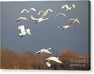 Tundra Swan Takeoff Canvas Print by Mike  Dawson