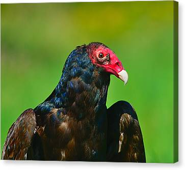 Turkey Vulture Canvas Print by Tony Beck