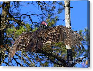Turkey Vulture With Wings Spread Canvas Print by Sharon Talson