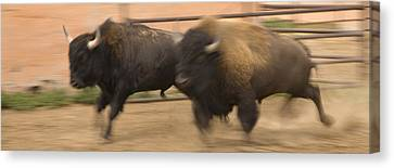 Two Bison Race Each Other Canvas Print by Ralph Lee Hopkins