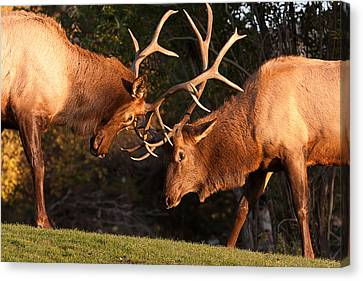 Two Bull Elk Sparring 91 Canvas Print by James BO  Insogna