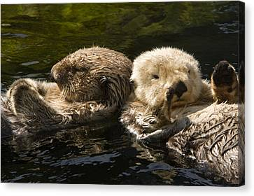 Two Captive Sea Otters Floating Back Canvas Print by Tim Laman