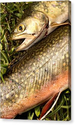 Two Caught Trout Laying Side By Side Canvas Print by Phil Schermeister