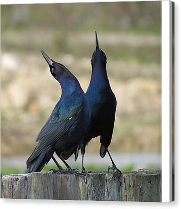 Two Crows Canvas Print by Vijay Sharon Govender