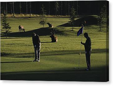 Two People Play Golf While Elk Graze Canvas Print by Raymond Gehman
