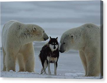 Two Polar Bears Ursus Maritimus Sniff Canvas Print by Norbert Rosing