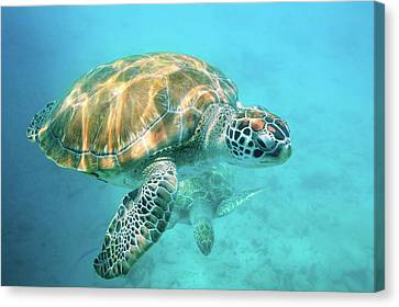 Two Sea Turtles Canvas Print by Matteo Colombo