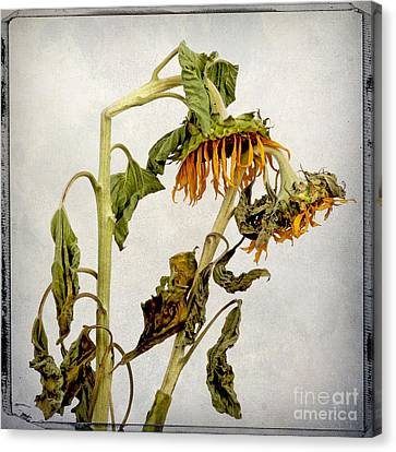 Two Sunflowers Canvas Print by Bernard Jaubert
