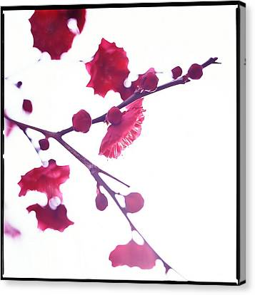 Ume Blossom Under The Sun Canvas Print by Moaan