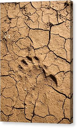 Various Footprints In Cracked Mud Canvas Print by Phil Schermeister
