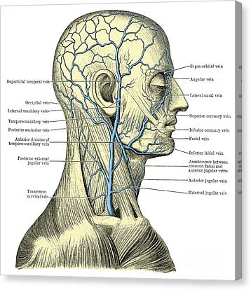 Veins Of The Head And Neck Canvas Print by Science Source