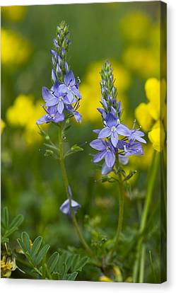Veronica Teucrium Canvas Print by Bob Gibbons