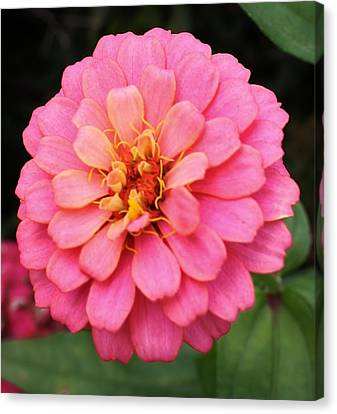 Vibrant Pink Zinna Canvas Print by Bruce Bley