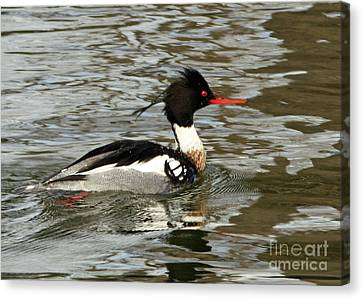 Vibrant Red Breasted Merganser At The Lake Canvas Print by Inspired Nature Photography Fine Art Photography