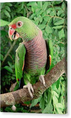 Vinaceous-breasted Parrot Amazona Canvas Print by Claus Meyer