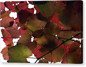 Vine Leaves Canvas Print by Douglas Barnard