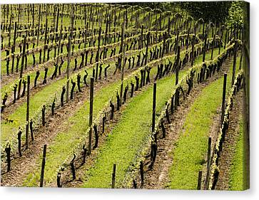Vineyard In July Canvas Print by Jean Noren