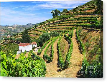 Vineyard Landscape Canvas Print by Carlos Caetano