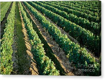 Vineyards At Sunrise Canvas Print by Sami Sarkis