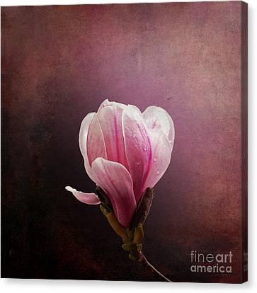 Vintage Magnolia Canvas Print by Jane Rix