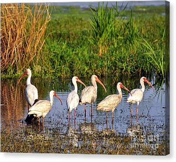 Wading Ibises Canvas Print by Al Powell Photography USA