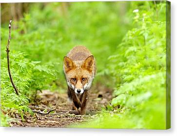 Walking Fox Canvas Print by Gary Chalker