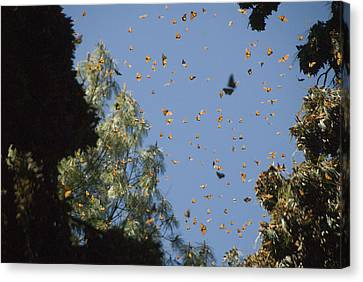 Warmed By The Sun, Thousands Of Monarch Canvas Print by Annie Griffiths