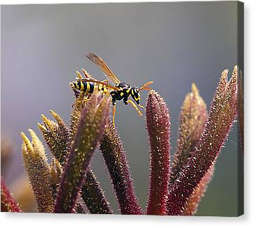 Waspage In The Kangaroo Paw Canvas Print by Joe Schofield