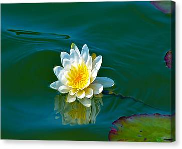Water Lily 4 Canvas Print by Julie Palencia