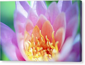 Water Lily Center Canvas Print by Kicka Witte