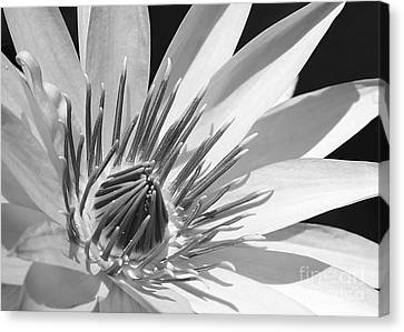 Water Lily Macro In Black And White Canvas Print by Sabrina L Ryan